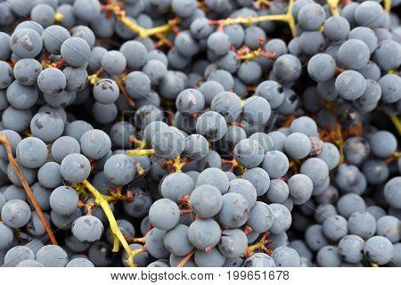 a lot of organic blue grapes backgroundwinemaking