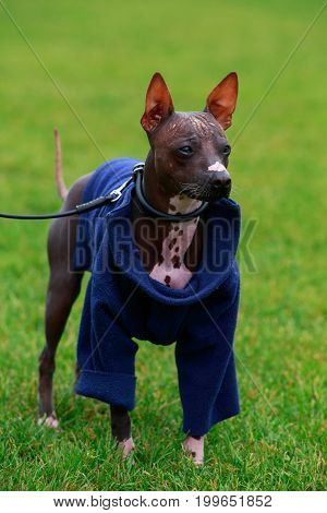 Dog breed American Hairless Terrier on a green grass