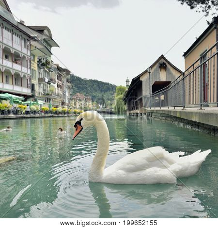 Swan in Thun city and river in Aare, Switzerland