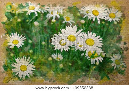 white chamomile flowers watercolor painting illustration artwork