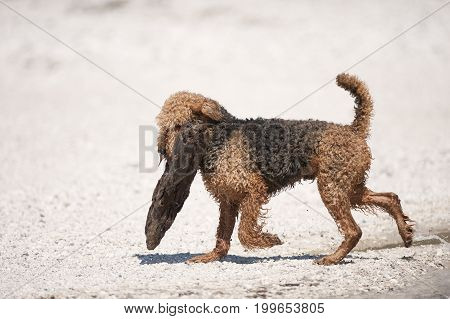 Airedale Terrier is carrying big log. He is walking on a white sand. It is beautiful sunny day.