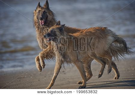 Two beautiful dogs Belgian shepherds playing on a beach. They are happy