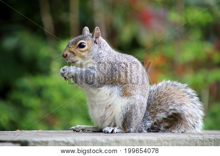 Close up of an Eastern Grey Squirrel
