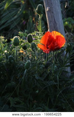 Poppies with late in the afternoon sun