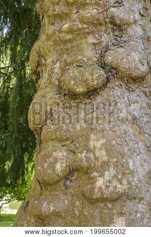 Strange face of an old man on a tree trunk in Zoologischer Garten Karlsruhe Germany.