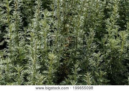 Artemisia - Mugwort, Wormwood, And Sagebrush Belonging To The Daisy Family Asteraceae