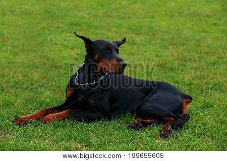 The dog breed Doberman Pinscher is lying on a green grass