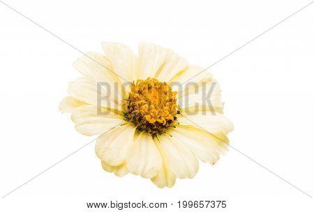 Zinnia elegans flower isolated on white background