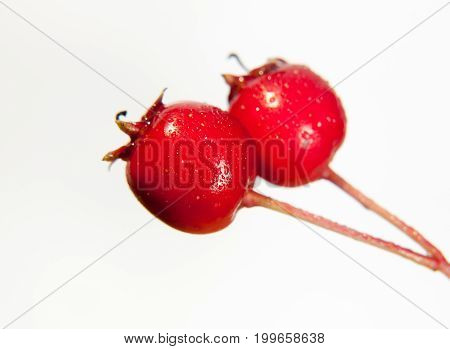 Two Close Up Wet Water Dew Droplet Red Hawthorn Berries Crataegus On White Background In Studio
