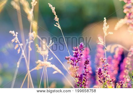 Purple wildflowers and dry grass in sunset rays for background in backlight.