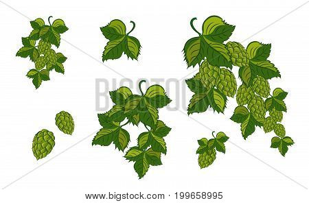 Green hop plant sketch style vector illustration isolated on white background. Realistic hand drawn ripe green hop cones beer brewing ingredient.Vector illustration.