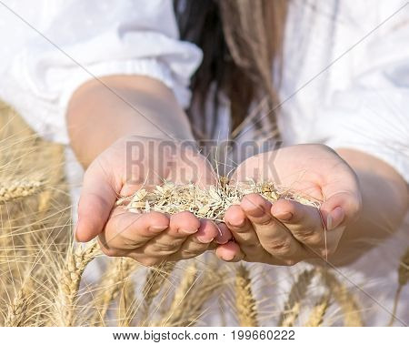Wheat grains in female hands. Harvesting at summer