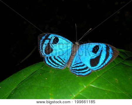 Blue Buterfly in French Guyana rainforest, South america.