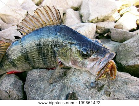 Perch Fish On Stone With Fishing Lure