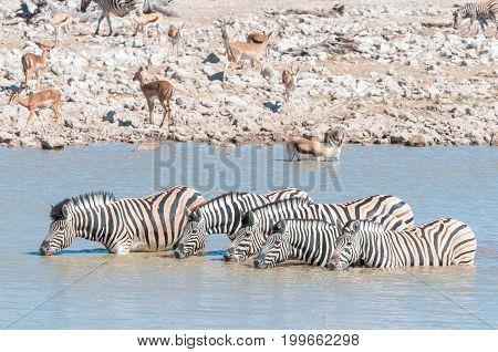 Burchells zebras Equus quagga burchellii drinking water in a waterhole in Northern Namibia