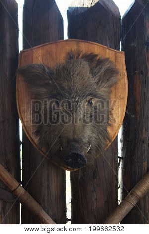 Wild boar's head hanging on the wooden fence closeup photo.