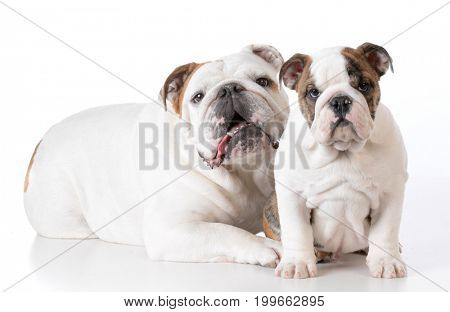 adult and puppy bulldogs isolated on white background