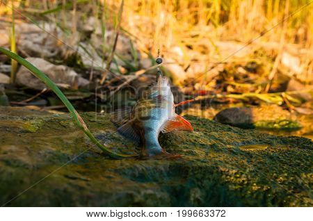 Small Perch Fish On Natural Green Background