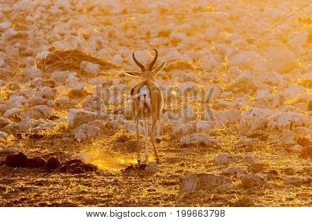 A springbok ram (Antidorcas marsupialis) walking in the last rays of the setting sun in Northern Namibia