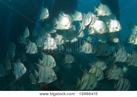 Schooling Atlantic Spadefish under a bridge in Palm Beach County Florida. poster