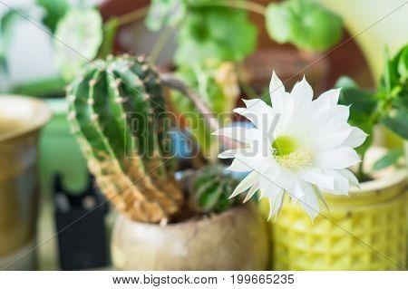 beautiful silky White tender Echinopsis Lobivia cactus flower bloom