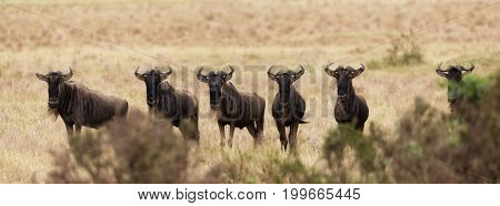 A row of wildebeest lined up and peeking over the bushes in the Masai Mara, Kenya, during the annual Great Migration. Popular social media banner proportions.