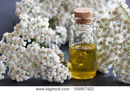 A bottle of yarrow essential oil with fresh yarrow on a dark background