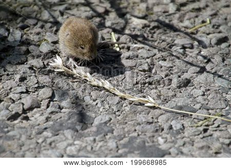 Small brown field mouse next to grain