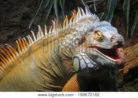 Portrait of a big iguana on the forest