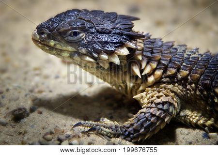 Portrait of a lizard standing still on the sand