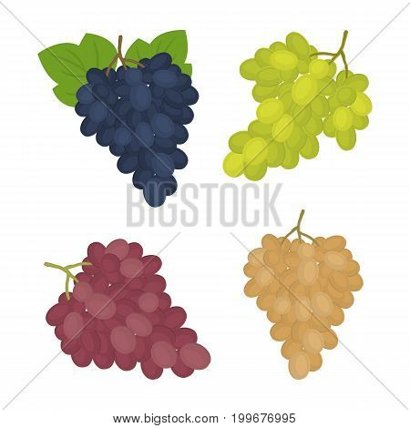 Grapes isolated on a white background. There are bunches of blue, green, pink and white grapes in the picture. Vector illustration.