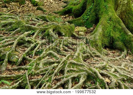 Old tree roots covered with moss in forest
