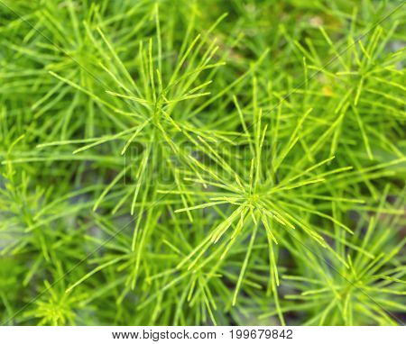picture showing fresh green horsetail plants closeup