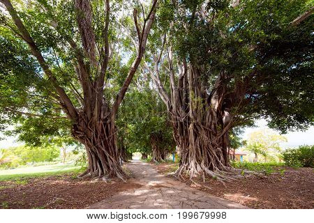 Branchy trees and a path through them Trinidad Sancti Spiritus Cuba. Copy space for text