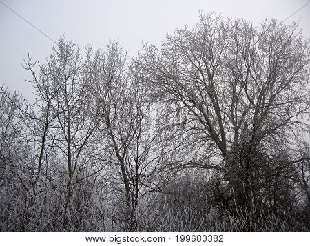 Group Of Trees Covered With Snow During  Winter