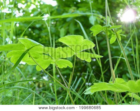 Close Up Of Fresh Green Leaves Of Aquilegia Columbine Plants On Green Background