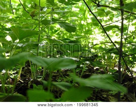 Shady Place With Wild Strawberry Plants Background