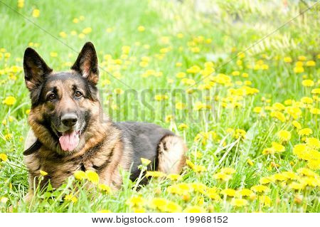 Shepherd With Dandelions
