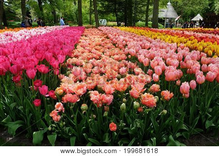 KEUKENHOF HOLLAND - MAY 14 2017: Flower beds of tulips in the shade of trees in the Royal Keukenhof Park