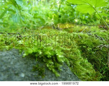 Low Close Up Macro Detail Of Moss On Green Background