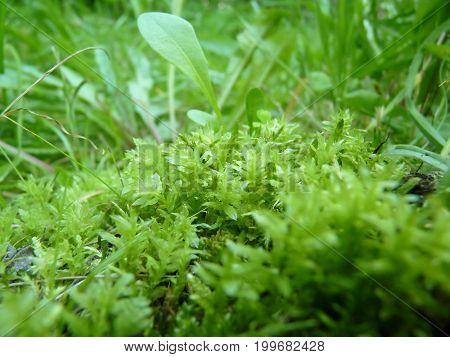 Low Close Up Macro Detail Of Bright Green Moss Growing On Grass Background