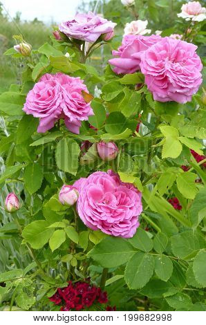 Pink rose bush blooming in flower garden.