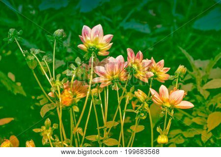 Colorful dahlia flowers on a background of the autumn landscape