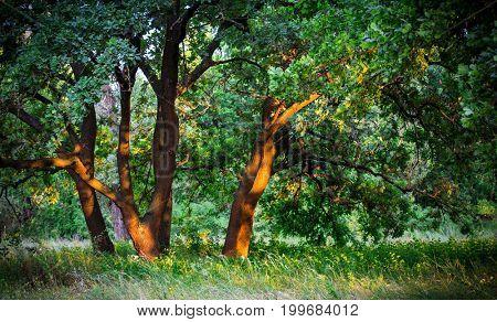 oak tress on summer meadow