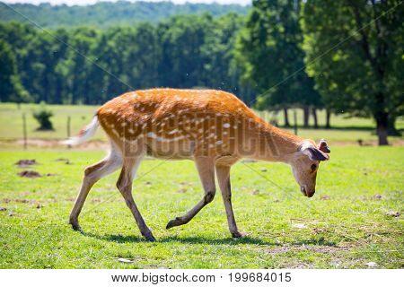 Funny fawn on meadow pasture in sunny day