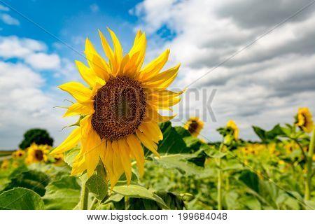 nice sunflower on summer meadow