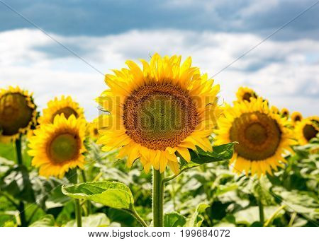 Sunflowers agricultural field in summer time