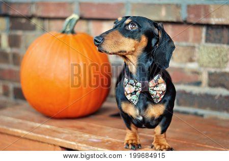 Mini dachshund in bow tie and a pumpkin