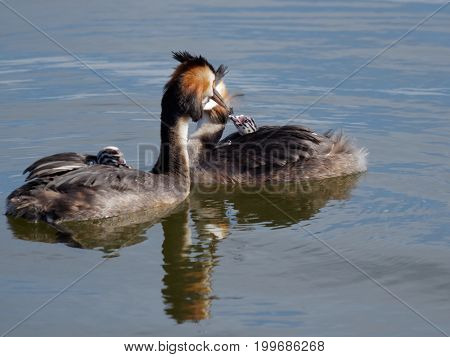 Great crested grebe adult and young birds in a lake