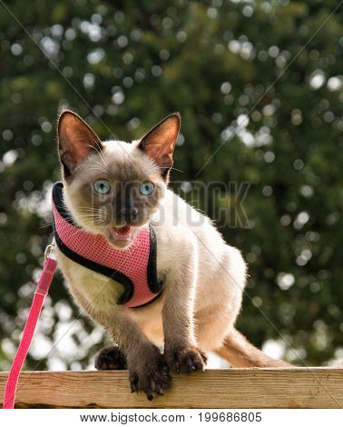 Siamese kitten meowing while balancing on side of a wooden bench, in a pink harness and leash